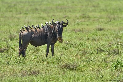 Blue Wildebeest and Wattled Starlings