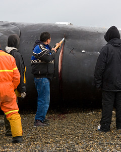 The community in Kaktovik harvested a subsistence Bowhead Whale. This fellow is beginning the carving process (9/09).   This photograph is protected by the U.S. Copyright Laws and shall not to be downloaded or reproduced by any means without the formal written permission of Ken Conger Photography.
