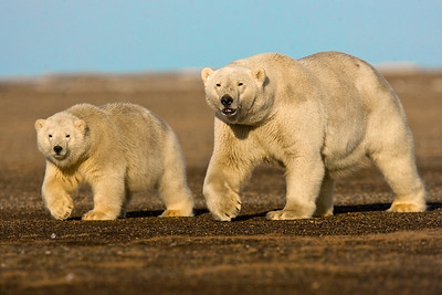 This photograph of a synchronized walking Polar Bear sow and cub was captured in the Arctic National Wildlife Refuge (ANWR), Alaska (9/10).     This photograph is protected by the U.S. Copyright Laws and shall not to be downloaded or reproduced by any means without the formal written permission of Ken Conger Photography.