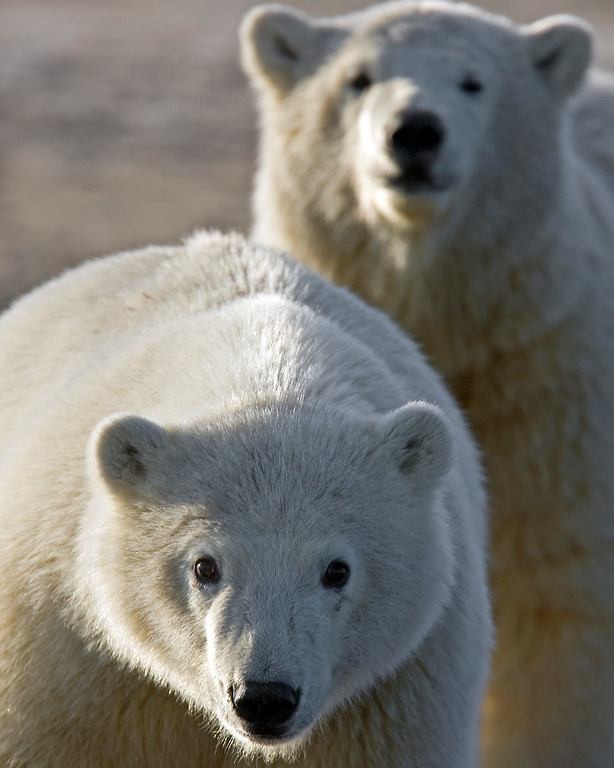 This photograph of a pair of yearling Polar Bears was captured in the Arctic National Wildlife Refuge (ANWR), Alaska (9/10).     This photograph is protected by the U.S. Copyright Laws and shall not to be downloaded or reproduced by any means without the formal written permission of Ken Conger Photography.