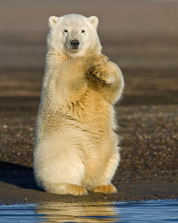 This photograph of a Polar Bear cub was captured in the Arctic National Wildlife Refuge (ANWR), Alaska (9/10).     This photograph is protected by the U.S. Copyright Laws and shall not to be downloaded or reproduced by any means without the formal written permission of Ken Conger Photography.