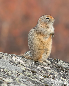 Denali National Park Arctic Ground Squirrel