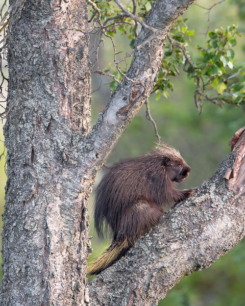 This photograph of a Porcupine was captured in Homer, Alaska (8/13).   This photograph is protected by the U.S. Copyright Laws and shall not to be downloaded or reproduced by any means without the formal written permission of Ken Conger Photography.
