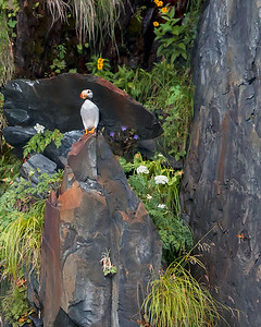This photograph of a perched Horned Puffin was captured in Kenai Fjords National Park, Alaska (8/13).   This photograph is protected by the U.S. Copyright Laws and shall not to be downloaded or reproduced by any means without the formal written permission of Ken Conger Photography.