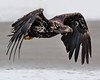 "This photograph of a flying immature Bald Eagle was captured in Kenai Fjords National Park, Alaska (8/13).   <FONT COLOR=""RED""><h5>This photograph is protected by the U.S. Copyright Laws and shall not to be downloaded or reproduced by any means without the formal written permission of Ken Conger Photography.<FONT COLOR=""RED""></h5>"