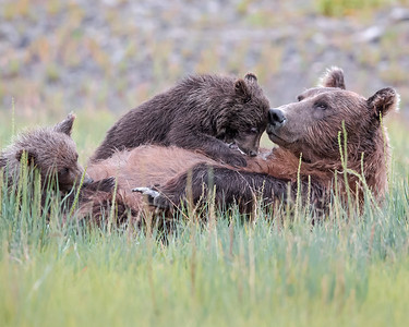 This photograph of a Brown Bear sow nursing her spring cubs was captured in Lake Clark National Park, Alaska (8/13).   This photograph is protected by the U.S. Copyright Laws and shall not to be downloaded or reproduced by any means without the formal written permission of Ken Conger Photography.