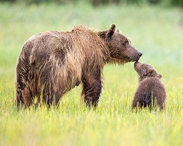 This photograph of a Brown Bear sow and spring cub during an intimate moment was captured in Lake Clark National Park, Alaska (8/13).   This photograph is protected by the U.S. Copyright Laws and shall not to be downloaded or reproduced by any means without the formal written permission of Ken Conger Photography.
