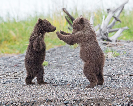 This photograph of two Brown Bear spring cubs playing was captured in Lake Clark National Park, Alaska (8/13).   This photograph is protected by the U.S. Copyright Laws and shall not to be downloaded or reproduced by any means without the formal written permission of Ken Conger Photography.