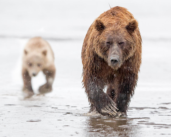 This photograph of a Brown Bear sow and trailing cub was captured in Lake Clark National Park, Alaska (8/13).   This photograph is protected by the U.S. Copyright Laws and shall not to be downloaded or reproduced by any means without the formal written permission of Ken Conger Photography.