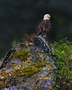 "This photograph of a perched Bald Eagle was captured in Kenai Fjords National Park, Alaska (8/13).   <FONT COLOR=""RED""><h5>This photograph is protected by the U.S. Copyright Laws and shall not to be downloaded or reproduced by any means without the formal written permission of Ken Conger Photography.<FONT COLOR=""RED""></h5>"