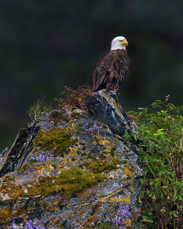 This photograph of a perched Bald Eagle was captured in Kenai Fjords National Park, Alaska (8/13).   This photograph is protected by the U.S. Copyright Laws and shall not to be downloaded or reproduced by any means without the formal written permission of Ken Conger Photography.