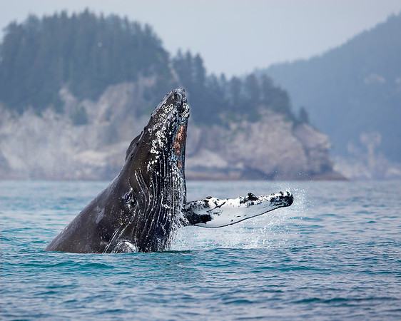 This photograph of spyhoppping Humpback Whale was captured in Kenai Fjords National Park, Alaska (8/13).   This photograph is protected by the U.S. Copyright Laws and shall not to be downloaded or reproduced by any means without the formal written permission of Ken Conger Photography.