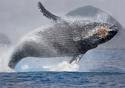 This photograph of breaching Humpback Whale was captured in Kenai Fjords National Park, Alaska (8/13).   This photograph is protected by the U.S. Copyright Laws and shall not to be downloaded or reproduced by any means without the formal written permission of Ken Conger Photography.