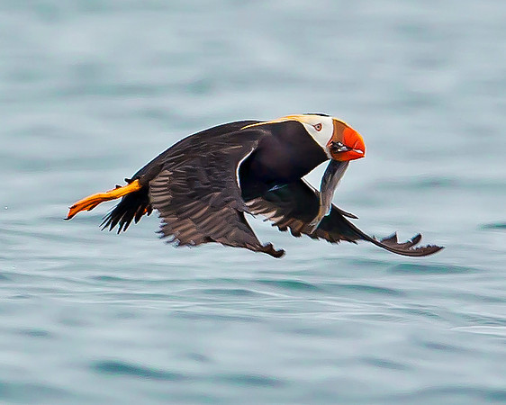 This photograph of a flying Tufted Puffin was captured in Kenai Fjords National Park, Alaska (8/13).   This photograph is protected by the U.S. Copyright Laws and shall not to be downloaded or reproduced by any means without the formal written permission of Ken Conger Photography.