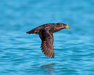 This photograph of a flying Rhinoceros Auklet was captured in Kenai Fjords National Park, Alaska (8/13).   This photograph is protected by the U.S. Copyright Laws and shall not to be downloaded or reproduced by any means without the formal written permission of Ken Conger Photography.
