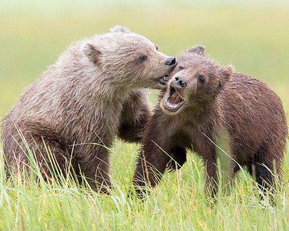 This photograph of a playing Brown Bear spring cubs was captured in Lake Clark National Park, Alaska (8/13).   This photograph is protected by the U.S. Copyright Laws and shall not to be downloaded or reproduced by any means without the formal written permission of Ken Conger Photography.