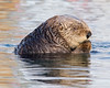 """This photograph of a Sea Otter was captured in Kenai Fjords National Park, Alaska (8/14). <FONT COLOR=""""RED""""><h5>This photograph is protected by the U.S. Copyright Laws and shall not to be downloaded or reproduced by any means without the formal written permission of Ken Conger Photography.<FONT COLOR=""""RED""""></h5>"""