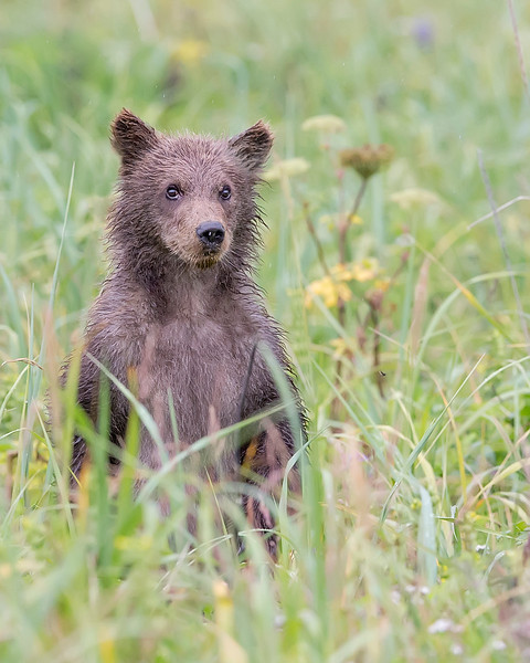 This photograph of a standing Brown Bear spring cub was captured in Lake Clark National Park, Alaska (8/14). This photograph is protected by the U.S. Copyright Laws and shall not to be downloaded or reproduced by any means without the formal written permission of Ken Conger Photography.