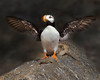 """This photograph of Horned Puffin was captured in Lake Clark National Park, Alaska (8/14). <FONT COLOR=""""RED""""><h5>This photograph is protected by the U.S. Copyright Laws and shall not to be downloaded or reproduced by any means without the formal written permission of Ken Conger Photography.<FONT COLOR=""""RED""""></h5>"""