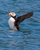 """This photograph of Horned Puffin was captured in Kenai Fjords National Park, Alaska (8/14). <FONT COLOR=""""RED""""><h5>This photograph is protected by the U.S. Copyright Laws and shall not to be downloaded or reproduced by any means without the formal written permission of Ken Conger Photography.<FONT COLOR=""""RED""""></h5>"""