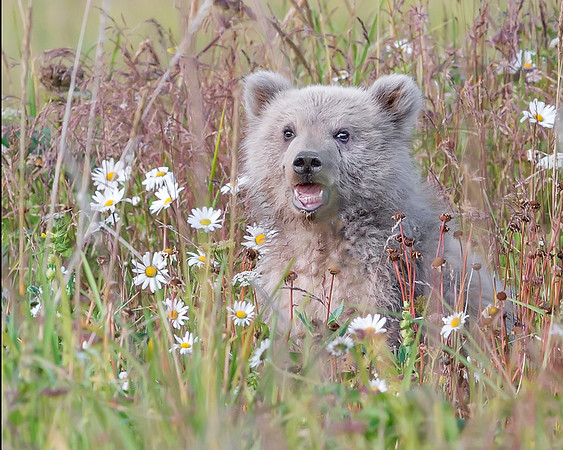 This photograph of a Brown Bear spring cub was captured in Lake Clark National Park, Alaska (8/14). This photograph is protected by the U.S. Copyright Laws and shall not to be downloaded or reproduced by any means without the formal written permission of Ken Conger Photography.