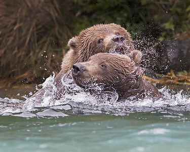 This photograph of play fighting Brown Bears was captured in the Wolverine Creek area, Alaska (8/14). This photograph is protected by the U.S. Copyright Laws and shall not to be downloaded or reproduced by any means without the formal written permission of Ken Conger Photography.