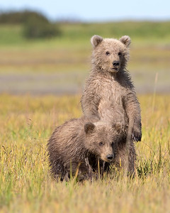 This photograph of a two Brown Bear spring cubs was captured in Lake Clark National Park, Alaska (8/14). This photograph is protected by the U.S. Copyright Laws and shall not to be downloaded or reproduced by any means without the formal written permission of Ken Conger Photography.