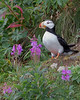 """This photograph of perched Horned Puffin was captured in Lake Clark National Park, Alaska (8/14). <FONT COLOR=""""RED""""><h5>This photograph is protected by the U.S. Copyright Laws and shall not to be downloaded or reproduced by any means without the formal written permission of Ken Conger Photography.<FONT COLOR=""""RED""""></h5>"""
