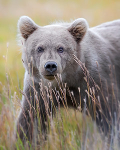 This photograph of a one year old Brown Bear cub was captured in Lake Clark National Park, Alaska (8/14). This photograph is protected by the U.S. Copyright Laws and shall not to be downloaded or reproduced by any means without the formal written permission of Ken Conger Photography.