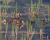 "This photograph of female Scaup with chicks was captured within Tern Lake, Alaska (8/14). <FONT COLOR=""RED""><h5>This photograph is protected by the U.S. Copyright Laws and shall not to be downloaded or reproduced by any means without the formal written permission of Ken Conger Photography.<FONT COLOR=""RED""></h5>"