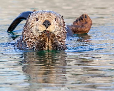 This photograph of a Sea Otter was captured in Kenai Fjords National Park, Alaska (8/14). This photograph is protected by the U.S. Copyright Laws and shall not to be downloaded or reproduced by any means without the formal written permission of Ken Conger Photography.