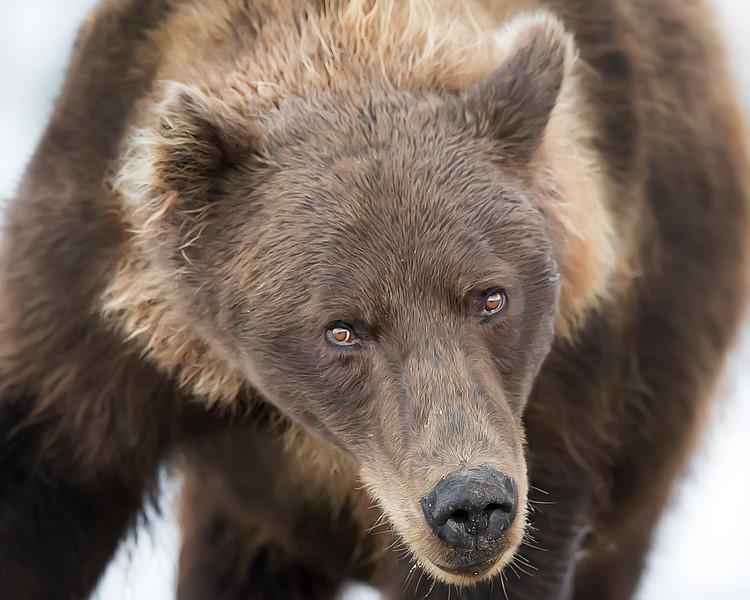 This photograph of a Brown Bear was captured in Lake Clark National Park, Alaska (8/14). This photograph is protected by the U.S. Copyright Laws and shall not to be downloaded or reproduced by any means without the formal written permission of Ken Conger Photography.