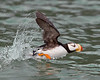 """This photograph of taking off Horned Puffin was captured in Lake Clark National Park, Alaska (8/14). <FONT COLOR=""""RED""""><h5>This photograph is protected by the U.S. Copyright Laws and shall not to be downloaded or reproduced by any means without the formal written permission of Ken Conger Photography.<FONT COLOR=""""RED""""></h5>"""