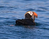 """This photograph of Tufted Puffin was captured in Kenai Fjords National Park, Alaska (8/14). <FONT COLOR=""""RED""""><h5>This photograph is protected by the U.S. Copyright Laws and shall not to be downloaded or reproduced by any means without the formal written permission of Ken Conger Photography.<FONT COLOR=""""RED""""></h5>"""