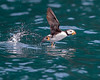 """This photograph of taking off Horned Puffin was captured in Kenai Fjords National Park, Alaska (8/14). <FONT COLOR=""""RED""""><h5>This photograph is protected by the U.S. Copyright Laws and shall not to be downloaded or reproduced by any means without the formal written permission of Ken Conger Photography.<FONT COLOR=""""RED""""></h5>"""