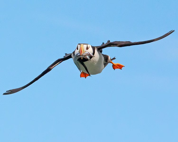 This photograph of a Horned Puffin flying in with sand eels was captured in Lake Clark National Park, Alaska (8/14). This photograph is protected by the U.S. Copyright Laws and shall not to be downloaded or reproduced by any means without the formal written permission of Ken Conger Photography.