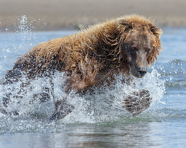 This photograph of a fishing Brown Bear was captured in Lake Clark National Park, Alaska (8/15). This photograph is protected by International and U.S. Copyright Laws and shall not to be downloaded or reproduced by any means without the formal written permission of Ken Conger Photography.