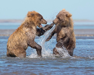 This photograph of playing Brown Bear spring cubs was captured in Lake Clark National Park, Alaska (8/15). This photograph is protected by International and U.S. Copyright Laws and shall not to be downloaded or reproduced by any means without the formal written permission of Ken Conger Photography.