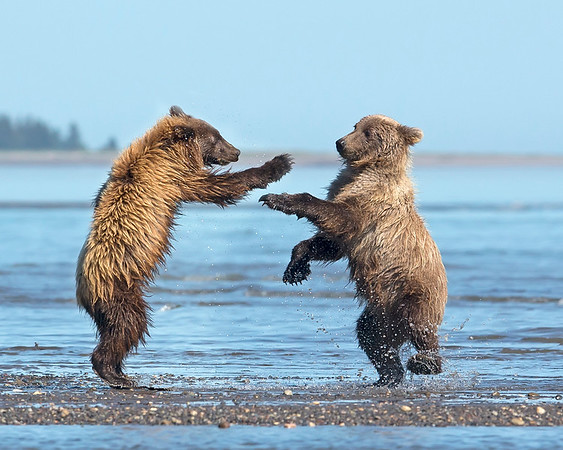 This photograph of playing Brown Bear cubs was captured in Lake Clark National Park, Alaska (8/15). This photograph is protected by International and U.S. Copyright Laws and shall not to be downloaded or reproduced by any means without the formal written permission of Ken Conger Photography.