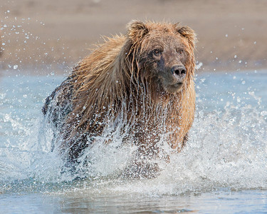 This photograph of a Brown Bear was captured in Lake Clark National Park, Alaska (8/15). This photograph is protected by International and U.S. Copyright Laws and shall not to be downloaded or reproduced by any means without the formal written permission of Ken Conger Photography.