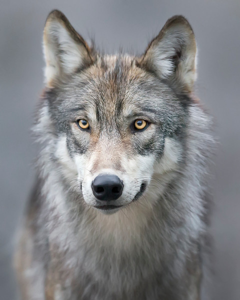This photograph of a Wolf  was captured in Denali National Park, Alaska (8/15). This photograph is protected by International and U.S. Copyright Laws and shall not to be downloaded or reproduced by any means without the formal written permission of Ken Conger Photography.