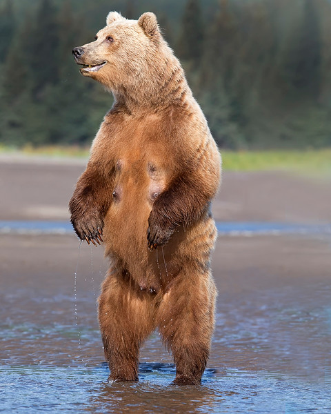 This photograph of a standing Brown Bear was captured in Lake Clark National Park, Alaska (8/15). This photograph is protected by International and U.S. Copyright Laws and shall not to be downloaded or reproduced by any means without the formal written permission of Ken Conger Photography.