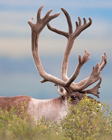 This photograph of a bull Caribou was captured in Denali National Park, Alaska (8/15). This photograph is protected by International and U.S. Copyright Laws and shall not to be downloaded or reproduced by any means without the formal written permission of Ken Conger Photography.
