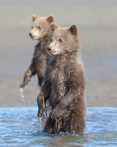 This photograph of standing Brown Bear spring cubs was captured in Lake Clark National Park, Alaska (8/15). This photograph is protected by International and U.S. Copyright Laws and shall not to be downloaded or reproduced by any means without the formal written permission of Ken Conger Photography.