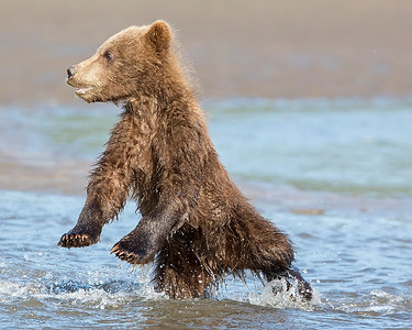 This photograph of a Brown Bear spring cubs was captured in Lake Clark National Park, Alaska (8/15). This photograph is protected by International and U.S. Copyright Laws and shall not to be downloaded or reproduced by any means without the formal written permission of Ken Conger Photography.