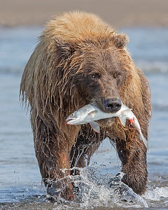 This photograph of a Brown Bear with a recently caught silver salmon was captured in Lake Clark National Park, Alaska (8/15). This photograph is protected by International and U.S. Copyright Laws and shall not to be downloaded or reproduced by any means without the formal written permission of Ken Conger Photography.