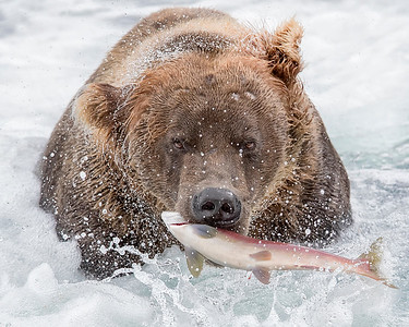 Katmai National Park Brown Bear with Sockeye Salmon