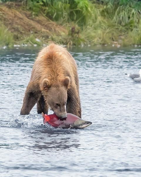 Alaska Peninsula Brown Bear with Salmon