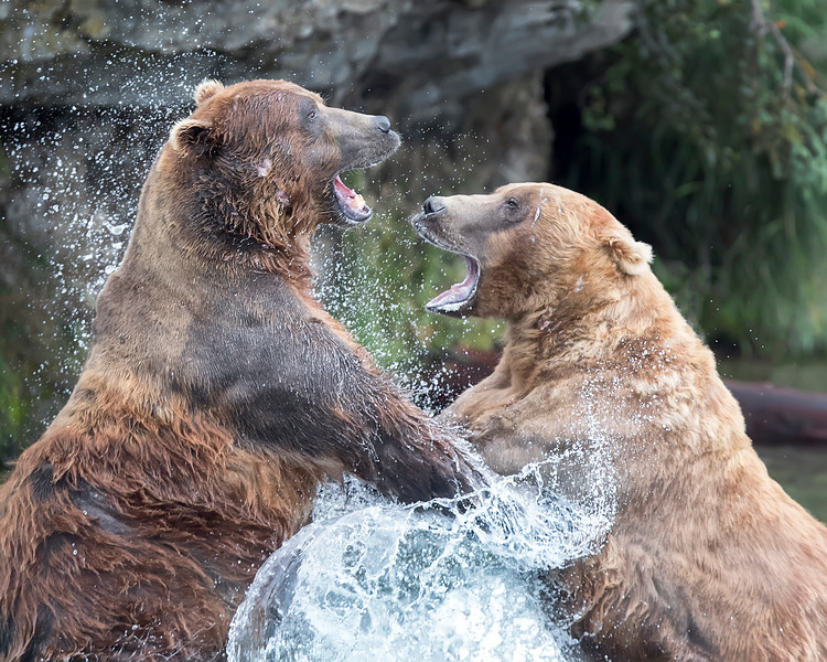 Katmai National Park clashing Brown Bears