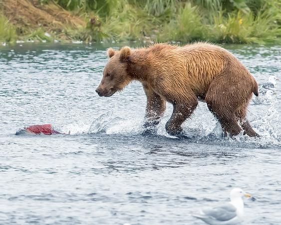 Alaska Peninsula Brown Bear Chasing Salmon